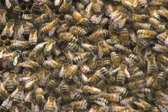 Μέλισσες μελιού σε μια κυψέλη απόθεμα βίντεο