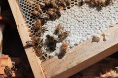 Μέλισσες μελιού στην εργασία Στοκ Εικόνα