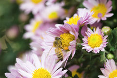 Μέλισσες μελιού Στοκ Εικόνες