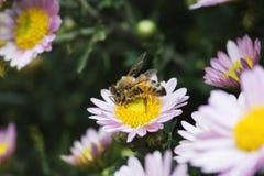 Μέλισσες μελιού Στοκ Φωτογραφίες