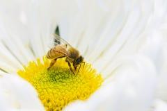 Μέλισσες μελιού Στοκ Εικόνα