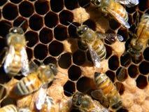 Μέλισσες νοσοκόμων και κύτταρα τσουρμάτων Στοκ Φωτογραφίες