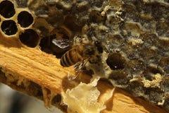 Μέλισσες, οι οποίες προέρχονται από το δριμύ χειμώνα Στοκ εικόνες με δικαίωμα ελεύθερης χρήσης