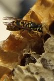 Μέλισσες, οι οποίες προέρχονται από το δριμύ χειμώνα Στοκ εικόνα με δικαίωμα ελεύθερης χρήσης