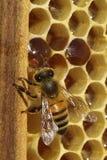 Μέλισσες, οι οποίες προέρχονται από το δριμύ χειμώνα Στοκ Εικόνα