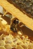 Μέλισσες, οι οποίες προέρχονται από το δριμύ χειμώνα Στοκ Φωτογραφία