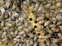 Μέλισσες που καλύπτουν την κηρήθρα Στοκ Φωτογραφία