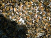 Μέλισσες που καλύπτουν την κηρήθρα Στοκ εικόνα με δικαίωμα ελεύθερης χρήσης