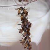 Μέλισσες που περιβάλλουν μια κανάτα του νερού καρύδων Στοκ φωτογραφία με δικαίωμα ελεύθερης χρήσης