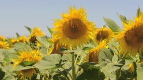 Μέλισσες που πετούν γύρω από τους κίτρινους ηλίανθους απόθεμα βίντεο