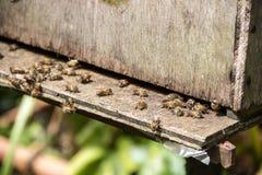 Μέλισσες σε ένα πέταγμα κυψελών Στοκ φωτογραφίες με δικαίωμα ελεύθερης χρήσης
