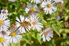 Μέλισσες σε chamomile Στοκ φωτογραφία με δικαίωμα ελεύθερης χρήσης