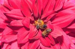 Μέλισσες στα κόκκινα πέταλα Στοκ εικόνα με δικαίωμα ελεύθερης χρήσης