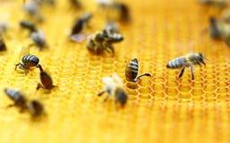 Μέλισσες στην κηρήθρα Στοκ Φωτογραφίες