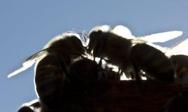 Μέλισσες στις ακτίνες βραδιού του ήλιου Στοκ εικόνες με δικαίωμα ελεύθερης χρήσης