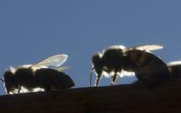 Μέλισσες στις ακτίνες βραδιού του ήλιου Στοκ Εικόνες