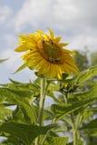 Μέλισσες στους ηλίανθους Στοκ εικόνες με δικαίωμα ελεύθερης χρήσης