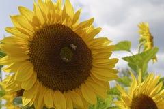 Μέλισσες στους ηλίανθους Στοκ φωτογραφίες με δικαίωμα ελεύθερης χρήσης