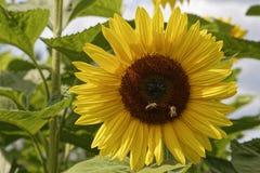Μέλισσες στους ηλίανθους Στοκ Εικόνες