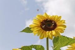 Μέλισσες στους ηλίανθους Στοκ φωτογραφία με δικαίωμα ελεύθερης χρήσης