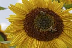 Μέλισσες στους ηλίανθους Στοκ Εικόνα