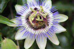 Μέλισσες στο λουλούδι Στοκ εικόνα με δικαίωμα ελεύθερης χρήσης