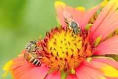 Μέλισσες στο gaillardia Στοκ φωτογραφία με δικαίωμα ελεύθερης χρήσης