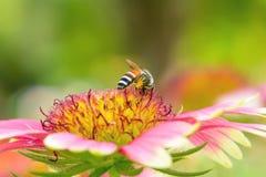 Μέλισσες στο gaillardia Στοκ Εικόνες