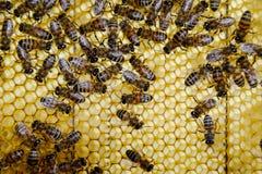Μέλισσες του Roy στις χτένες κεριών Κηρήθρα μελισσών, σανίδα με την κηρήθρα από την κυψέλη λεπτομερής η μέλισσα απομονωμένη μέλι  Στοκ Εικόνα