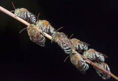 Μέλισσες ύπνου Στοκ φωτογραφίες με δικαίωμα ελεύθερης χρήσης