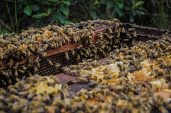 Μέλισσες 6 Στοκ Εικόνα