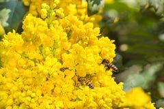 Μέλισσες lat Anthophila που συλλέγει το νέκταρ από τα πολύβλαστα κίτρινα άνθη της ακροποταμιάς mahonia lat Aquifolium Mahonia Στοκ Εικόνες