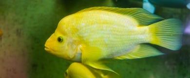 Μήδας cichlid στο κίτρινου και άσπρου χρωματισμένο τροπικό ψάρι κινηματογραφήσεων σε πρώτο πλάνο, εξωτικό specie ψαριών από την Κ στοκ εικόνες