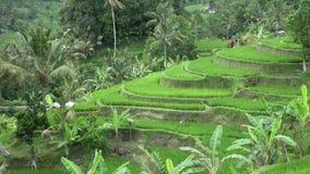 Μήκος σε πόδηα πέρα από το πεζούλι ρυζιού και τους φοίνικες του βουνού και το σπίτι των αγροτών πρεσών Ινδονησία φιλμ μικρού μήκους