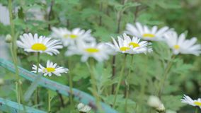 Μήκος σε πόδηα camomile των λουλουδιών σε ένα μήκος σε πόδηα λιβαδιών απόθεμα βίντεο