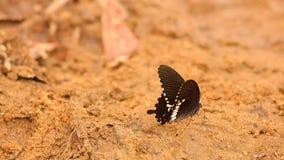 Μήκος σε πόδηα HD εντόμων πεταλούδων Swallowtail Spicebush απόθεμα βίντεο