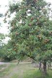 Μήλα έτοιμα για την επιλογή σε έναν οπωρώνα της Apple Στοκ Φωτογραφία