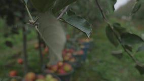 Μήλα επιλογών συγκομιδών στον πλαστικό κάδο απόθεμα βίντεο
