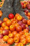 Μήλα κάτω από το δέντρο Στοκ εικόνες με δικαίωμα ελεύθερης χρήσης