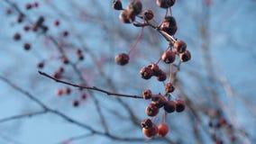 Μήλα καβουριών κυμάτων αερακιού στο λεπτό κλάδο δέντρων κάτω από το μπλε ουρανό απόθεμα βίντεο