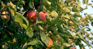Μήλα κρεμασμένα στα κλαδιά του δέντρου στο φως του ήλιου Καλή σοδειά στον κήπο φιλμ μικρού μήκους