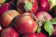 μήλα Μίτσιγκαν Στοκ Φωτογραφίες