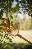 μήλα που επιλέγουν το δέν& Στοκ Εικόνα