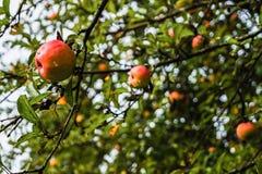 Μήλα που καλύπτονται ώριμα από τις σταγόνες βροχής στον κλάδο δέντρων της Apple Στοκ φωτογραφία με δικαίωμα ελεύθερης χρήσης