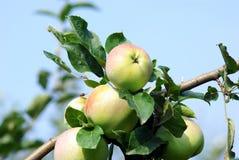 μήλα που ωριμάζονται Στοκ Φωτογραφίες