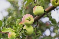 μήλα σε έναν κλάδο των βιταμινών Στοκ εικόνα με δικαίωμα ελεύθερης χρήσης
