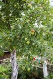 Μήλα σε ένα δέντρο μηλιάς Στοκ Φωτογραφίες