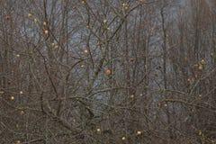 Μήλα σε ένα δέντρο χωρίς φύλλα Στοκ Φωτογραφίες