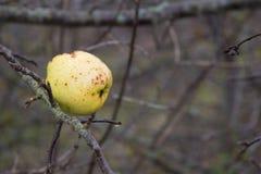 Μήλα σε ένα δέντρο χωρίς φύλλα Στοκ φωτογραφίες με δικαίωμα ελεύθερης χρήσης