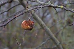 Μήλα σε ένα δέντρο χωρίς φύλλα Στοκ εικόνα με δικαίωμα ελεύθερης χρήσης